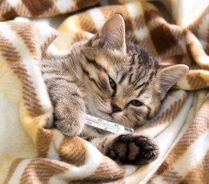 Febre em gatos: como medir a temperatura