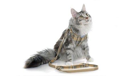 Você sabia que existe coleira para gato?