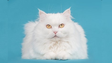 Gatos brancos: você sabia que eles precisam de uma atenção especial?
