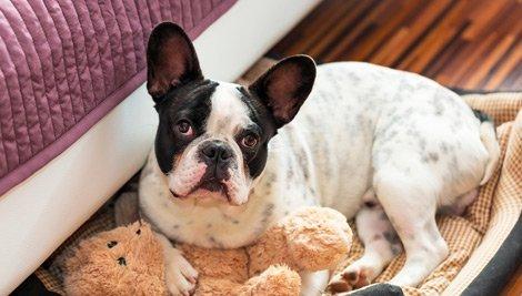 Enfermedad de garrapatas en perros - ¿Cómo tratarla?